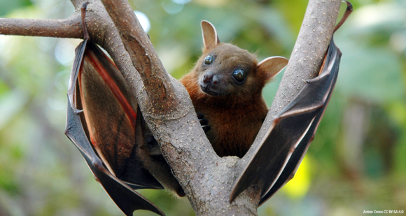Short-nosed fruit bat, native to southern Asia. Photo by Anton Croos CC BY-SA 4.0 https://goo.gl/whAOKl