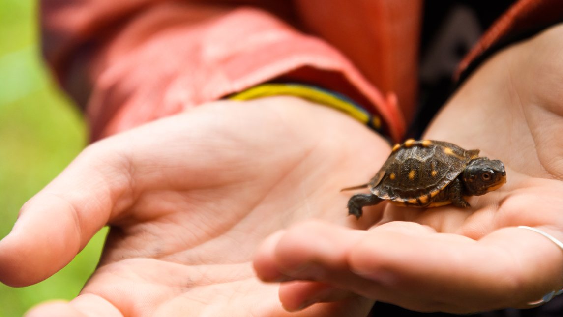 Close up of someone holding a tiny turtle.